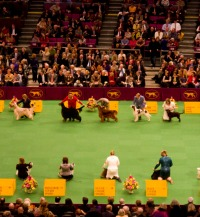 westminster dog show| A Tail Above Dog Training